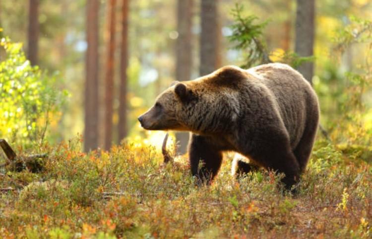 Лес медведь