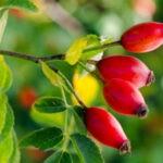 Шиповник ягода